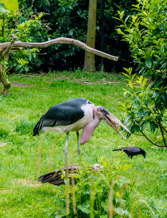 Marabou stork (Leptoptilos crumenifer) standing with his bill open. This large wading bird in the stork family has huge bill, a pink gular sac at its throat, a neck ruff, and black legs and wings. Stock Photo