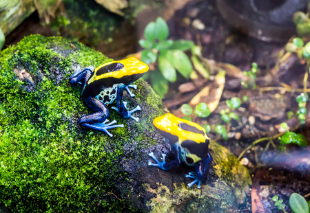 Dyeing dart frog, tinc or Dyeing poison frog (Dendrobates tinctorius Brazil) sitting on mossy stone. This is a species of poison dart frog and is highly toxic if consumed. Imagens