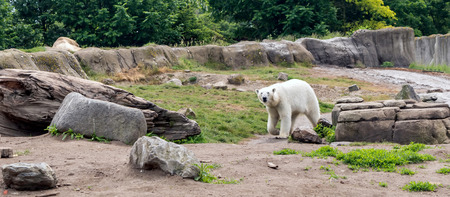 Polar bear (Ursus maritimus), also known as white bear, walking and looking to the camera. This bear is native mainly to Arctic Circle with body adapted for cold temperatures, for moving across snow.