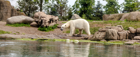 Polar bear (Ursus maritimus), also known as white bear, walking by lake. This bear is native mainly to Arctic Circle with body adapted for cold temperatures, for moving across snow, ice and open water Stock Photo