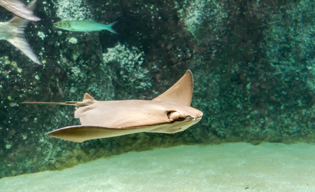 Brown back and wings of swimming Cownose ray (Rhinoptera bonasus). They are often mistaken for being a shark by beach-goers due to the fins sticking out of the water, resembling the fin of a shark. 写真素材