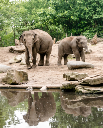 Female Asian elephant (Elephas maximus) with subadult near pond. They drink at least once a day and are never far from a permanent source of fresh water.
