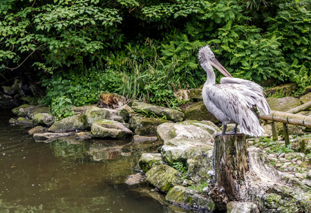 Young Dalmatian pelican (Pelecanus crispus) sitting on a stump near pond. Dalmatian differs from other large species in that it has curly nape feathers, grey legs and silvery-white plumage. Archivio Fotografico