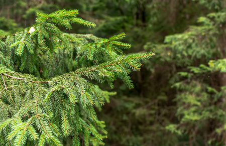 Closeup of fir branch in a forest. Spruce branch in wilderness of the Anyksciai woods. Healthy environment concept background.