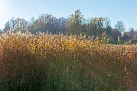Stalks of reed against the autumn golden sun. Sun rays shining through reed grass in autumn sunny weather. Stalks waving in the wind at golden light. Autumn nature background.