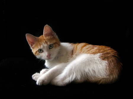 Portrait of domestic red kitten, 4 months old. Young orange and white kitty isolated on black background. Imagens