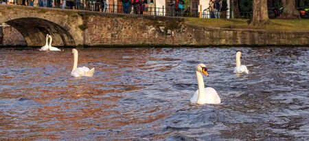 Several white swans floating on the canal waters in Bruges city center.