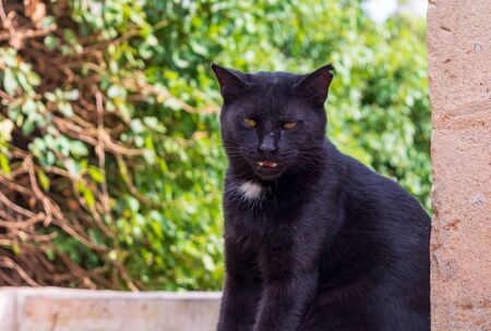 Cats of Malta. Stray black cat sitting on the porch at the entrance to one of the St. Pauls Catacombs, showing his teeth, in Rabat, Malta.