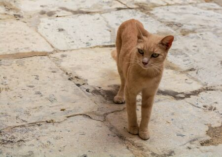 Cats of Malta - stray ginger tabby cat standing at Cospicua street and looking to the side.