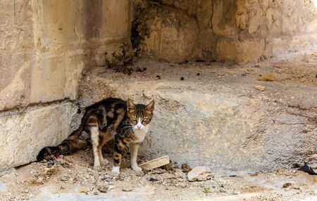 Cats of Malta - stray tabby cat with bright green eyes standing at Bormla street and staring to camera.