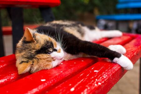 Cats of Malta - stray calico cat sleeping on the red bench in shady place at the Independence Garden park in Sliema, Malta.