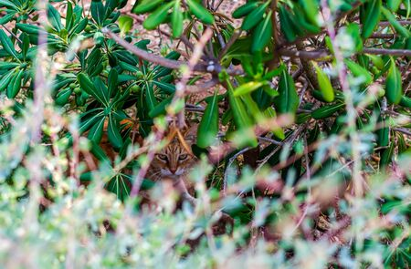 Cats of Malta - stray ginger tabby cat hiding in bushes and looking to the camera at the Independence Garden park in Sliema, Malta.