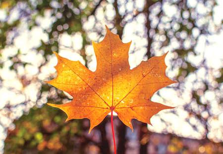 Sunlit Orange maple leaf against nature background of autumn park. Dismal autumn background. Seasonal concept. Banque d'images
