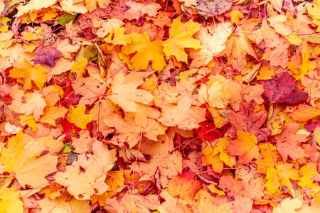 Red orange maple leaves background. Creative autumn background of fallen yellow leaves in the forest. Seasonal concept. Golden maple leaf fall on ground in autumn in Latvia. 免版税图像