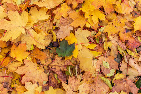 One green leaf among orange yellow maple leaves background. Creative autumn background of fallen orange leaves in the forest. Seasonal concept. Orange maple leaf fall on ground in autumn in Latvia.