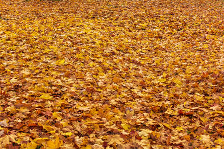 Orange maple leaves background. Creative autumn background of fallen yellow leaves in the forest. Seasonal concept. Golden maple leaf fall on ground in autumn in Latvia.