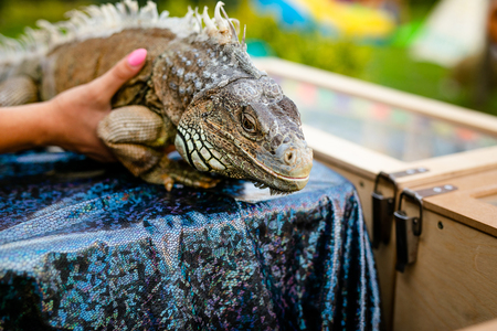 Green iguana sitting on the hands of woman