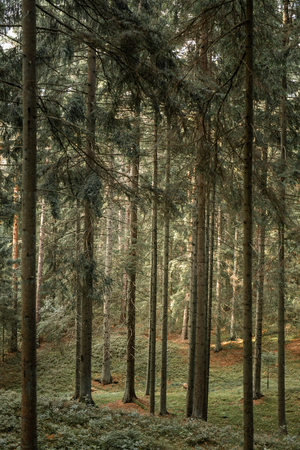 natural pine forest at sunny day, pure nature concept.