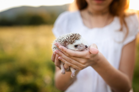 Person Holding Cute Hedgehog in Hands. Scared Spiny Mammal Hedgehog in sitting Position Outdoors on grass scenary and Women Hands Carefully Holding Him.