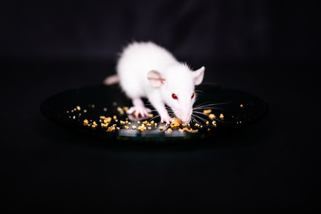 Cute Little Rat eating a crumbs on the plate, Pet Rat eating a treat. Fluffy rodent pet with little hands holding food. Black background. 免版税图像