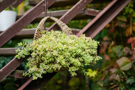 Hanging garden - succulent plants in similar twine pots. Green garden at home