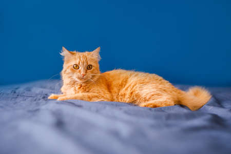 A red, fluffy domestic cat lies on a bed against a blue background.