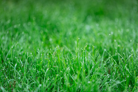 Drops of dew on a green grass. Natural background.