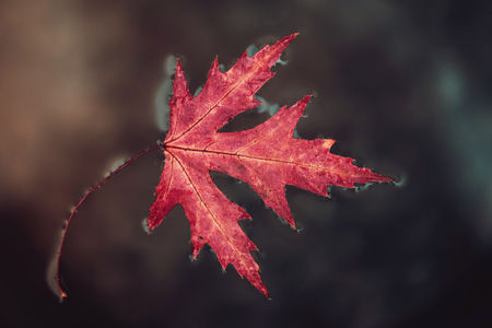 Fall leaf red maple lies on the surface water. Close-up, selective focus. The concept of