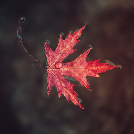 Beatiful red marple leaf with raindrops on it floats on the surface of the water. Concept