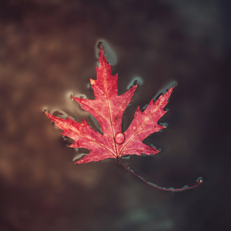 """Beatiful red marple leaf with raindrops on it floats on the surface of the water. Concept """"Autumn has come"""". Selective focus."""