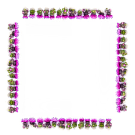 Flowers composition. Frame made of Thorns of Thistle with blooming pink flowers on white background. Flat lay; top view; copy space.