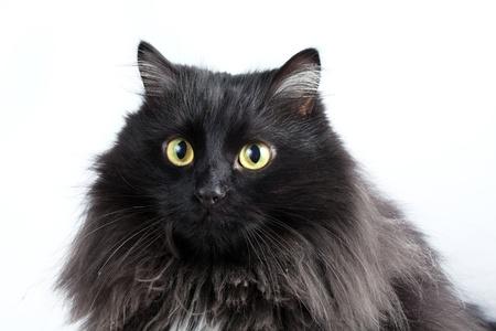 moggi: black cat on white background Stock Photo