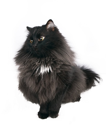 moggi: black cat on white background Stock Photo