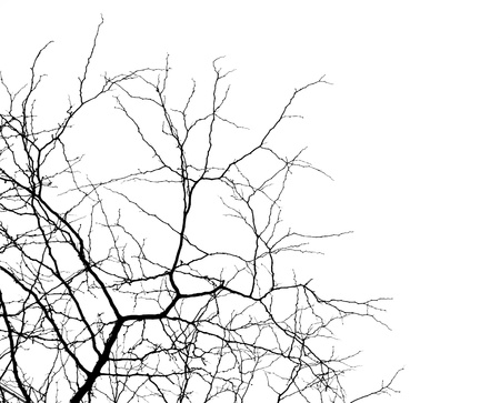 tree branches isolated on the white background photo