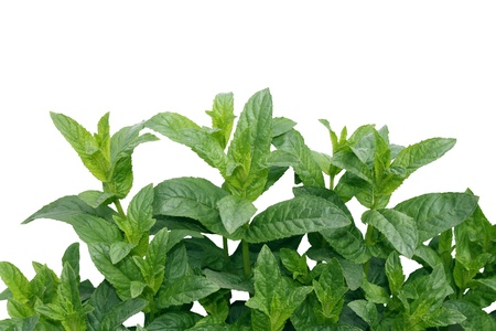 Mentha piperita  M balsamea Willd mint isolated on white photo
