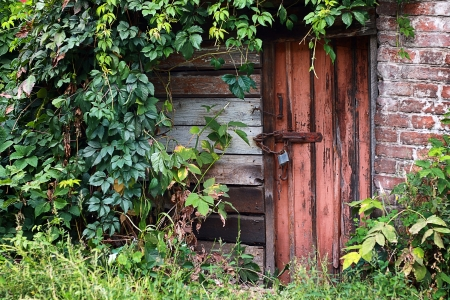 old door locked with padlock with green leaves of wild vine around walls photo