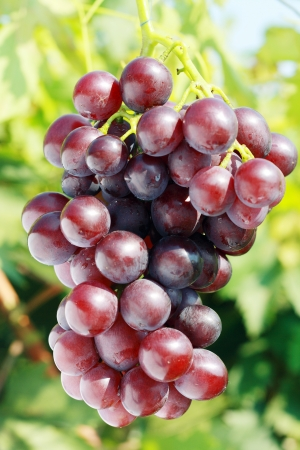 ripe red grape in vineyard in sunny summer day Stock Photo