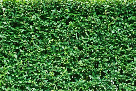 Green leaf background cutted bushes photo
