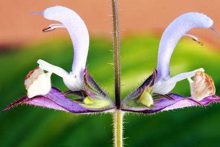 salve: A beautiful odorous herb the salvia sclarea macro extrimly close up