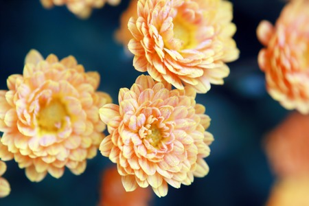 Beautiful orange chrysanthemum flower autumn vivid background with dew