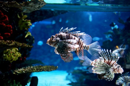marine aquarium: Lion fish in marine aquarium