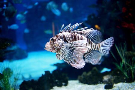 Lion fish in marine aquarium