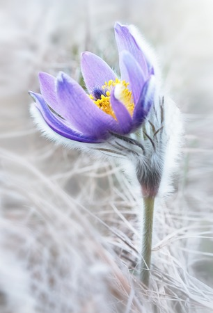 pasque: delicate pasque flowers in high key