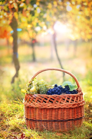 Grapes harvest. Autumn nature in vineyard with basket of grapes
