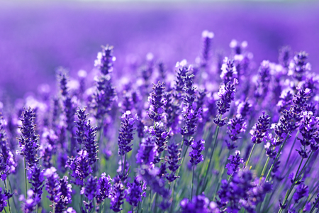 beautiful close up shot of lavender flowers at the field Banco de Imagens - 83699530