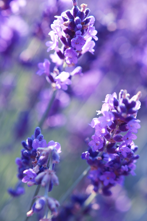필드에서 라벤더 꽃의 총 최대 아름 다운 닫기