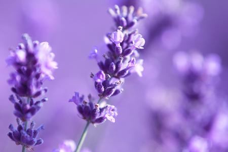 belle gros plan de fleurs de lavande au champ
