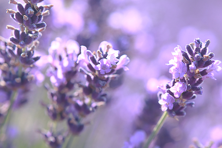 beautiful close up shot of lavender flowers at the field, background texture Stock Photo