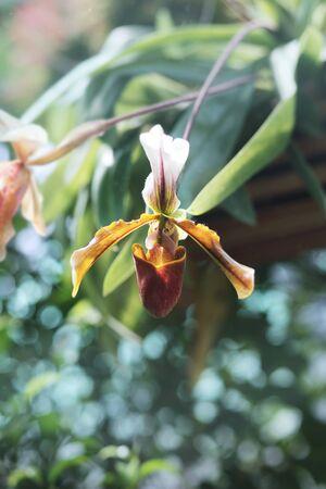 Paphiopedilum plant blossom close up blur