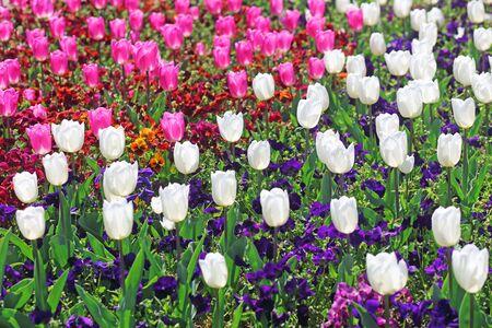 Tulip mix border with Viola tricolor